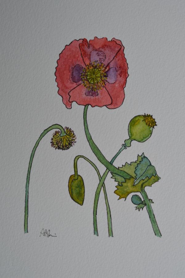 poppy flower