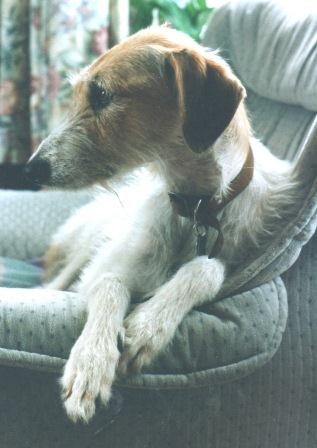 Original photo of Fred the Lurcher