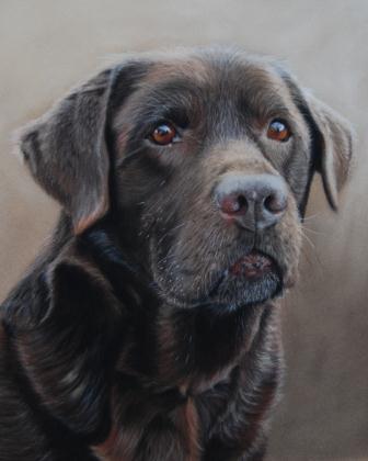 Monte - Chocolate Labrador