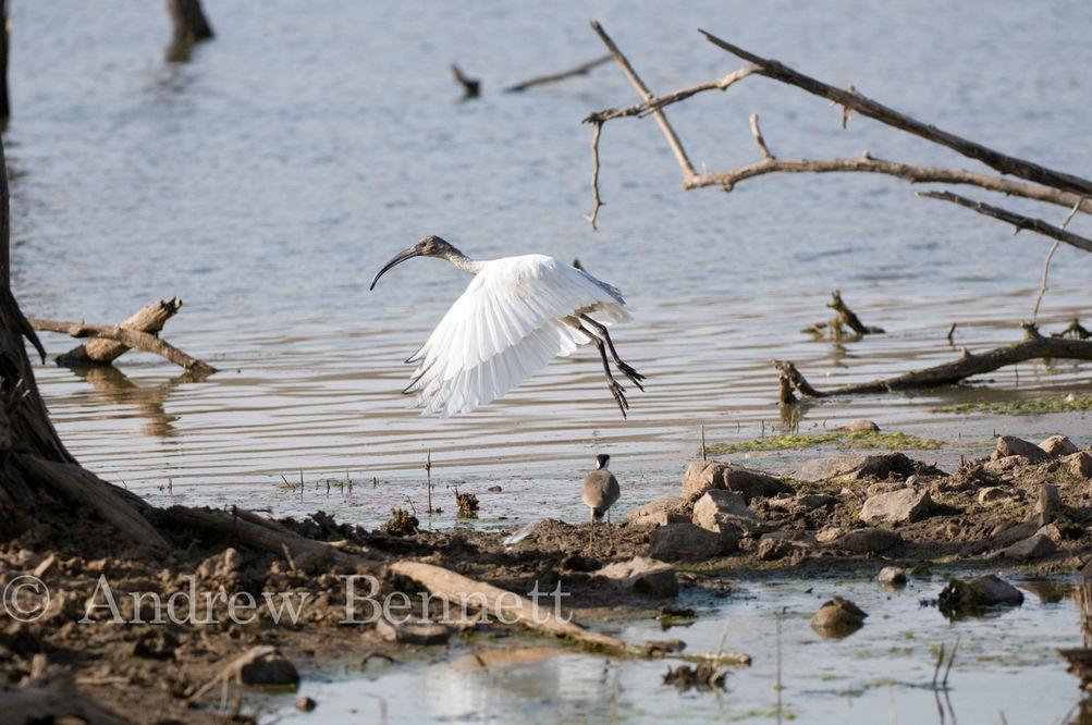 030412black-necked ibis4