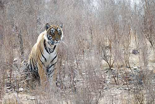 Tigress in the long grass