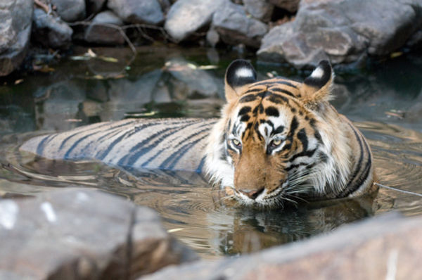 Male tiger bathing in pool