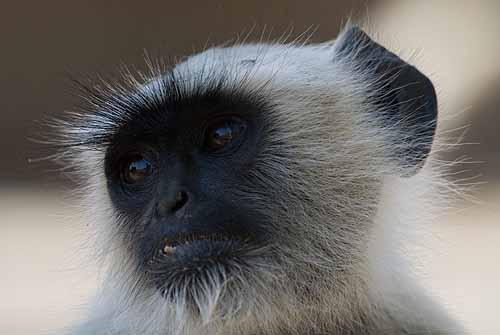 Young Langur face