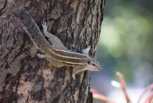 Palm squirrel climbing