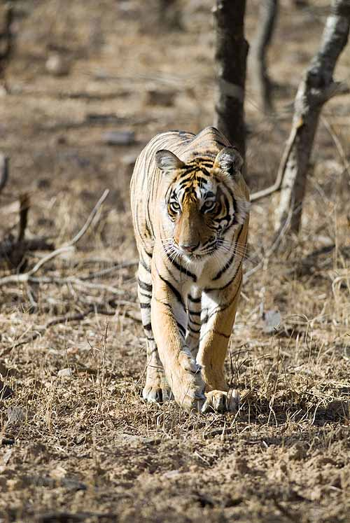 Tigress on the prowl