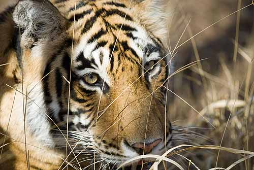 Face of the tiger