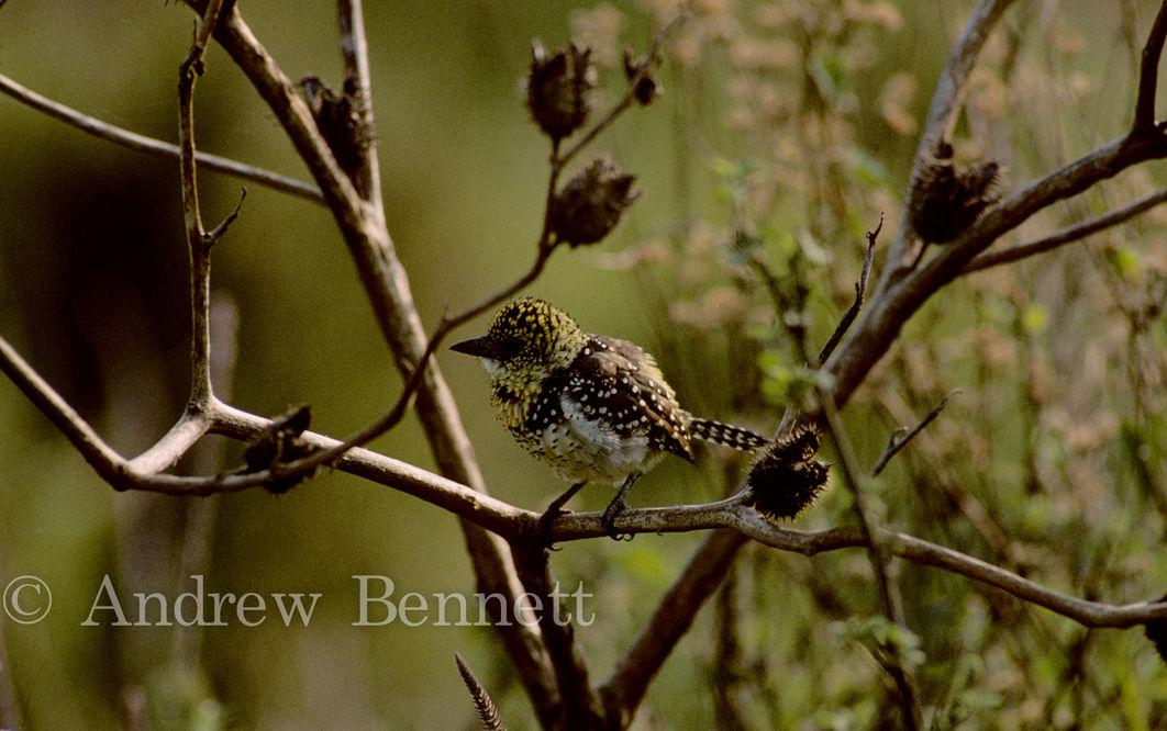 D'Arnaud's barbet (Trachyphonus darnaudii )Masai Mara, Kenya