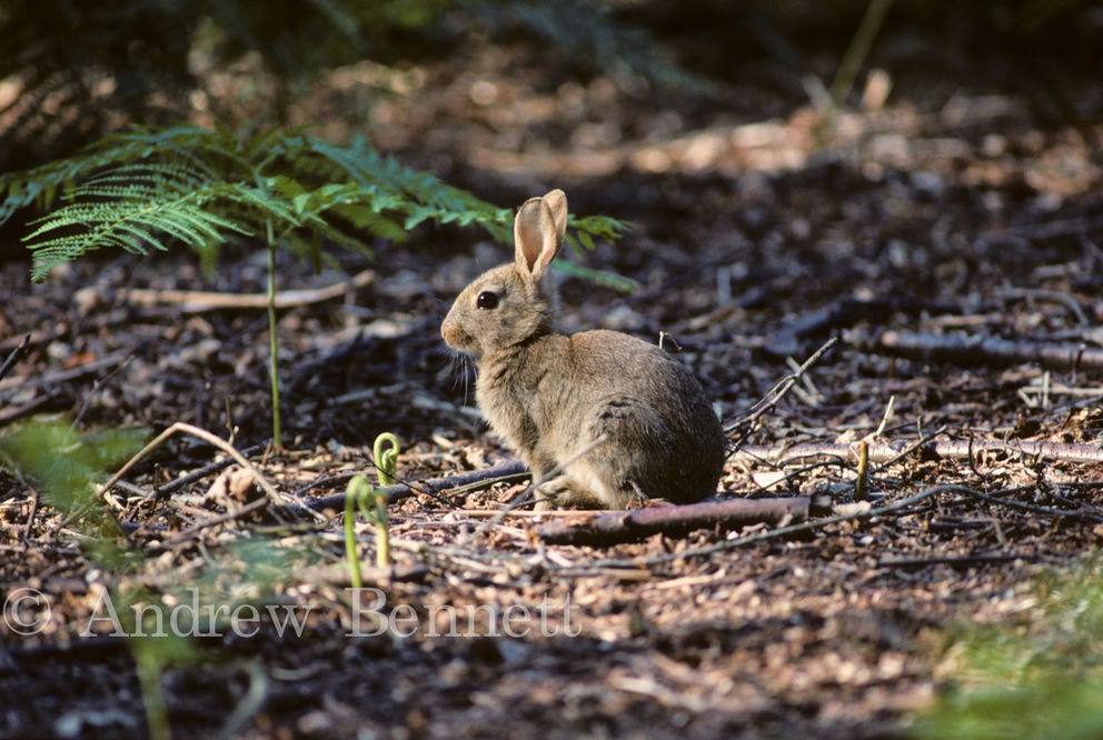 114. Rabbit in woodland