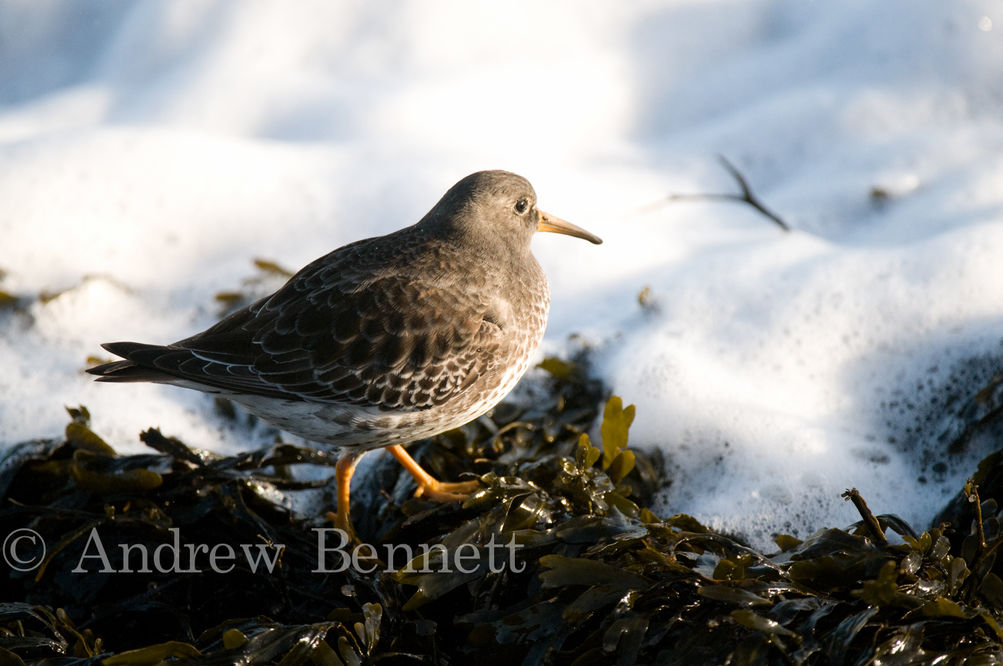 121210purple sandpiper16-2-Edit-2