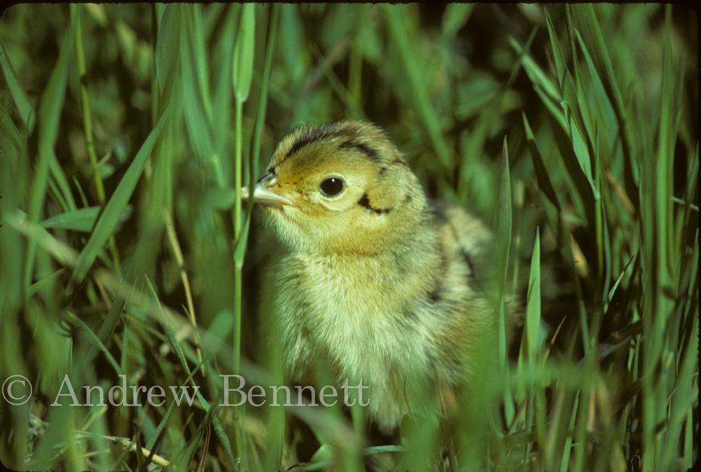 Pheasant chick (Phasianus colchicus), Sydling's Copse, Oxon, UK