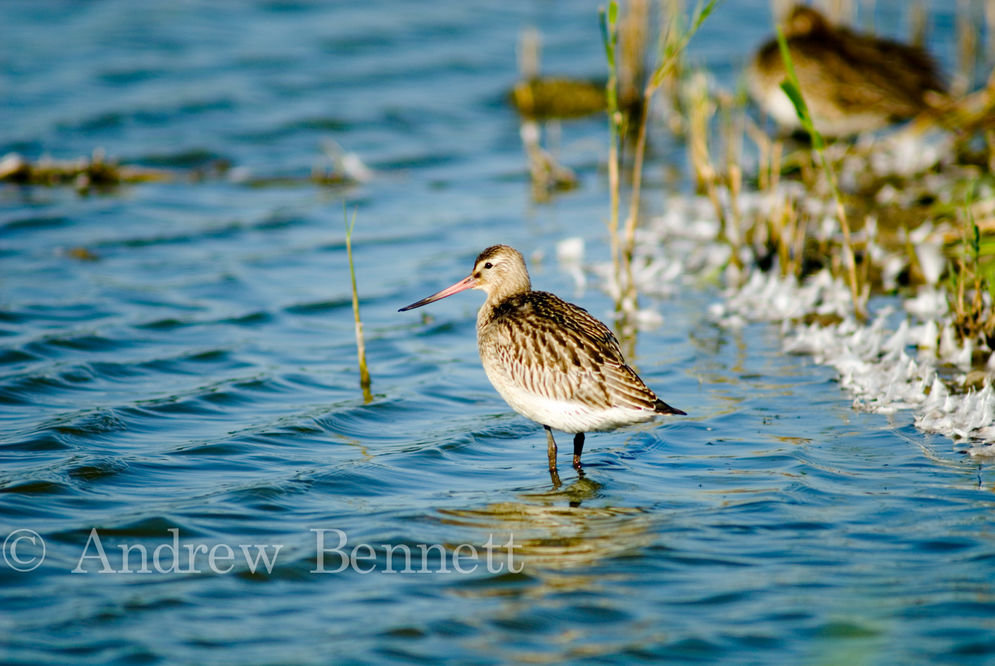 160907bar-tailed godwit