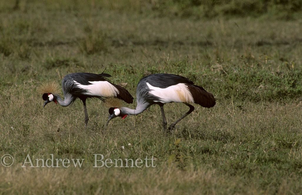 Grey crowned cranes (Balearica regulorum)  Masai Mara, Kenya