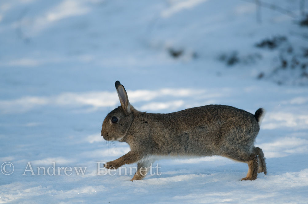 201209rabbit in snow3