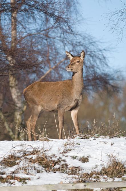 201209red deer female in snow2