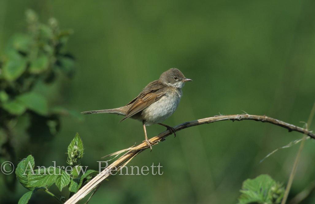Whitethroat (Sylvia communis) on bramble, Suffolk, UK