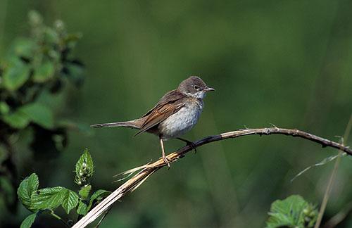Male Whitethroat, Suffolk, UK