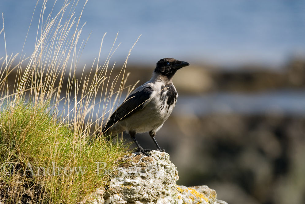 210807hooded crow-2