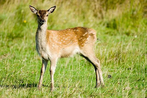 Red deer calf with spots