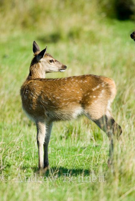 210807red deer calf2-2