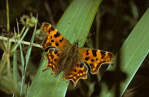 Comma at rest