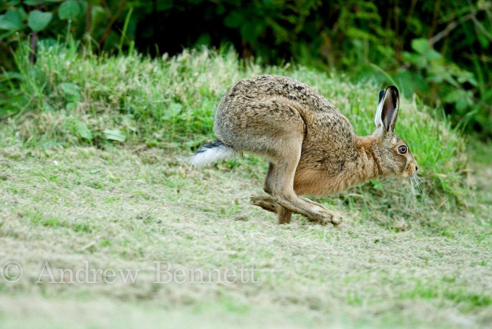 240807brown hare running-2-Edit