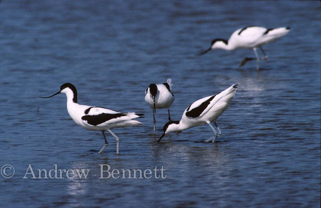 Group of Avocets (Recurvirostra avosetta) Suffolk, UK