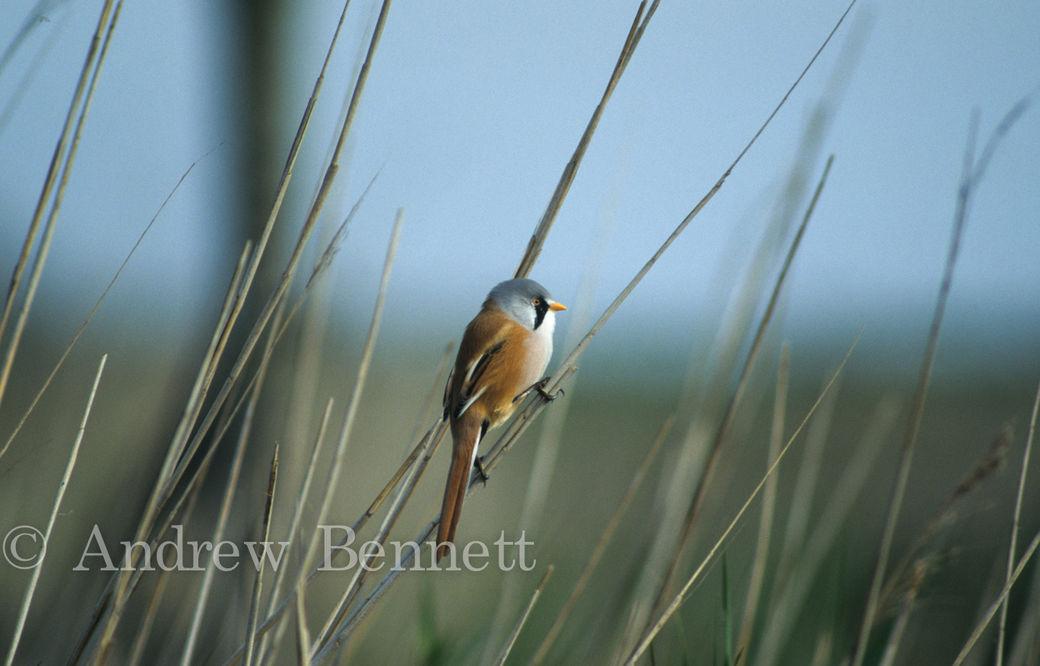 Male Bearded tit on reed (Panurus biarmicus) Suffolk, UK