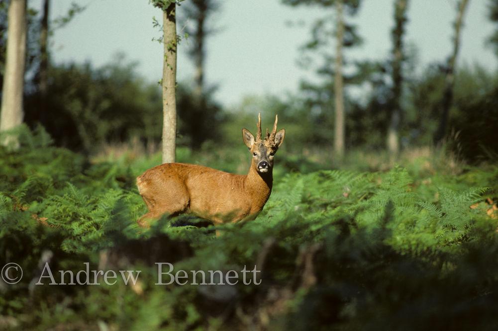 328. Roe deer buck in bracken-2