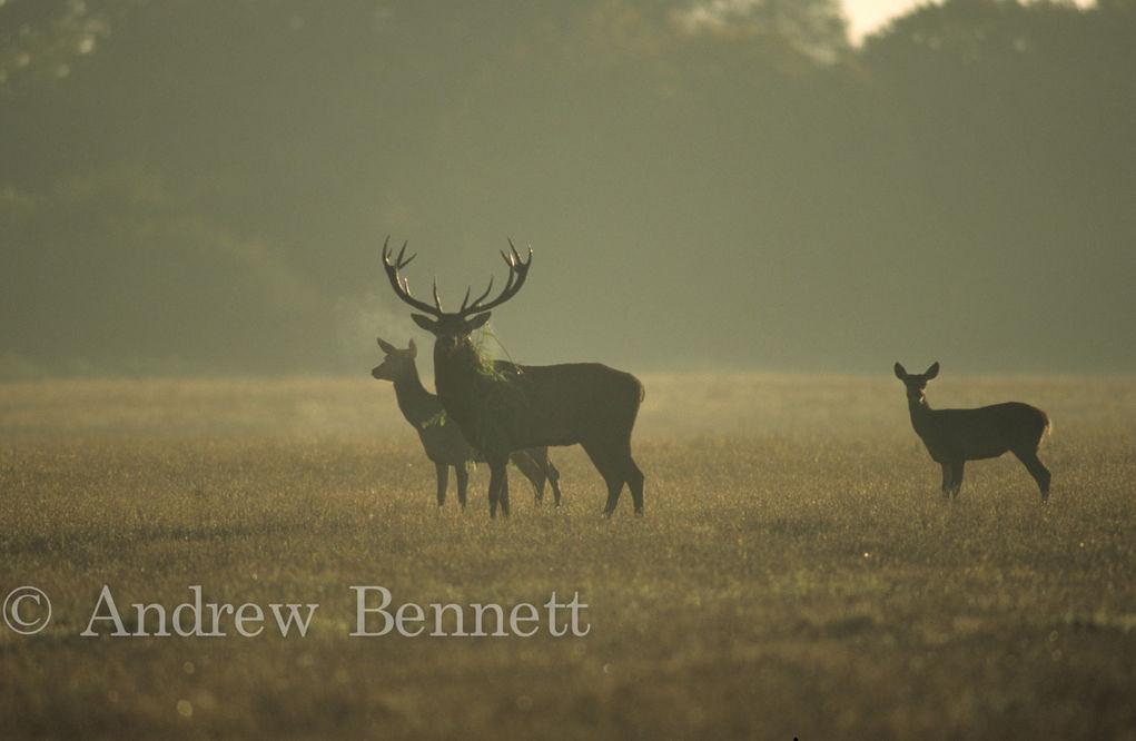 347. Red deer at dawn-2-Edit
