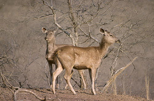 Sambar on the lookout