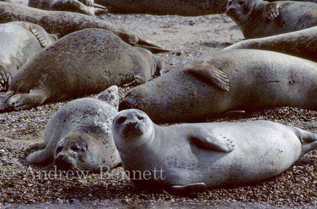 581. Common seals basking-2
