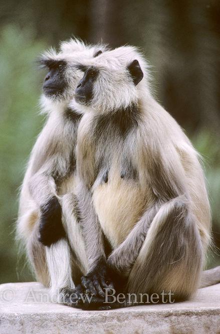 616. Langur monkeys-Edit-2-Edit-Edit-Edit-2