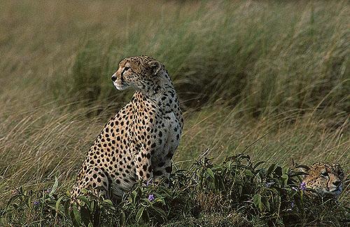 Cheetahs at rest