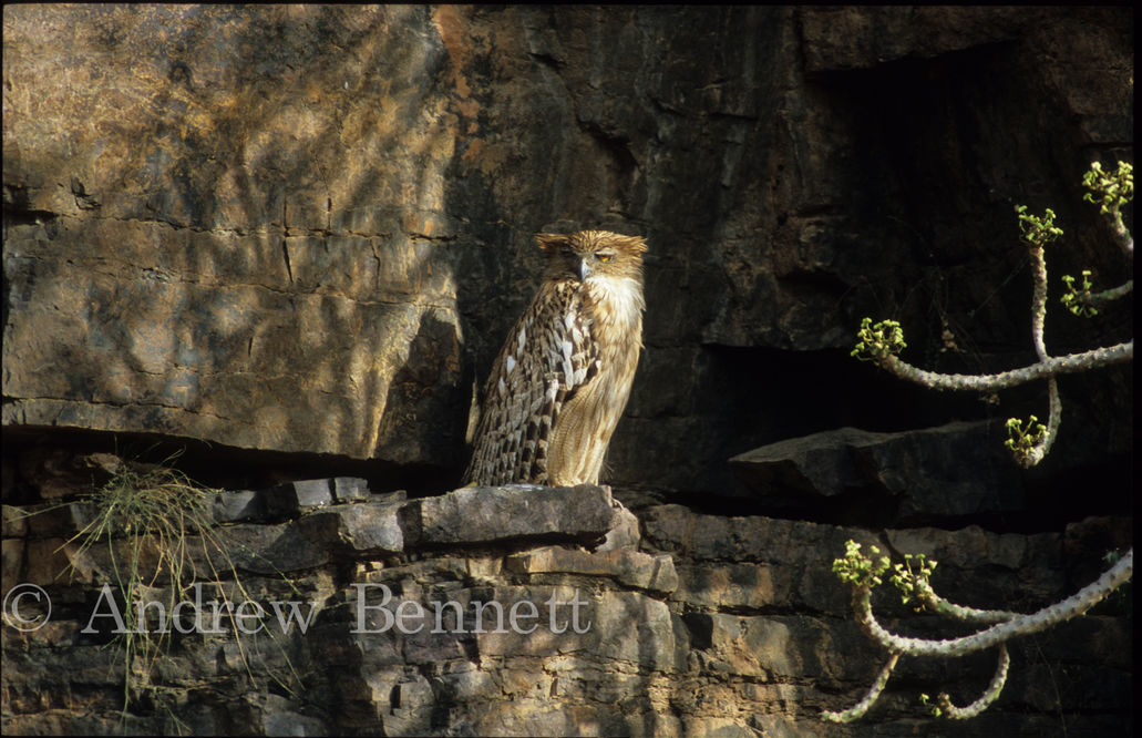 brown fish owl1