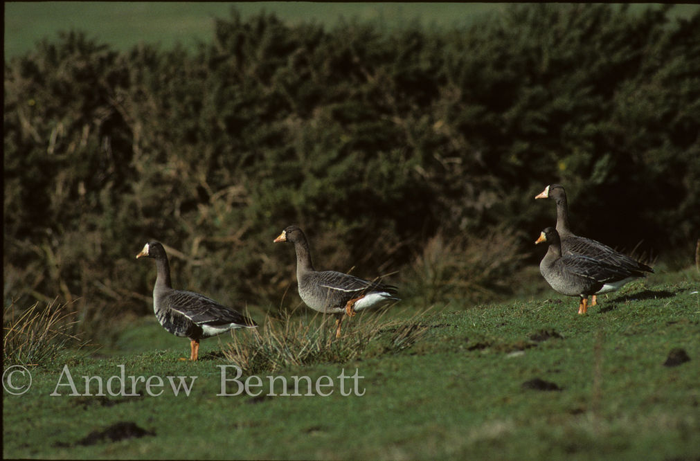 greenland white-fronted geese2