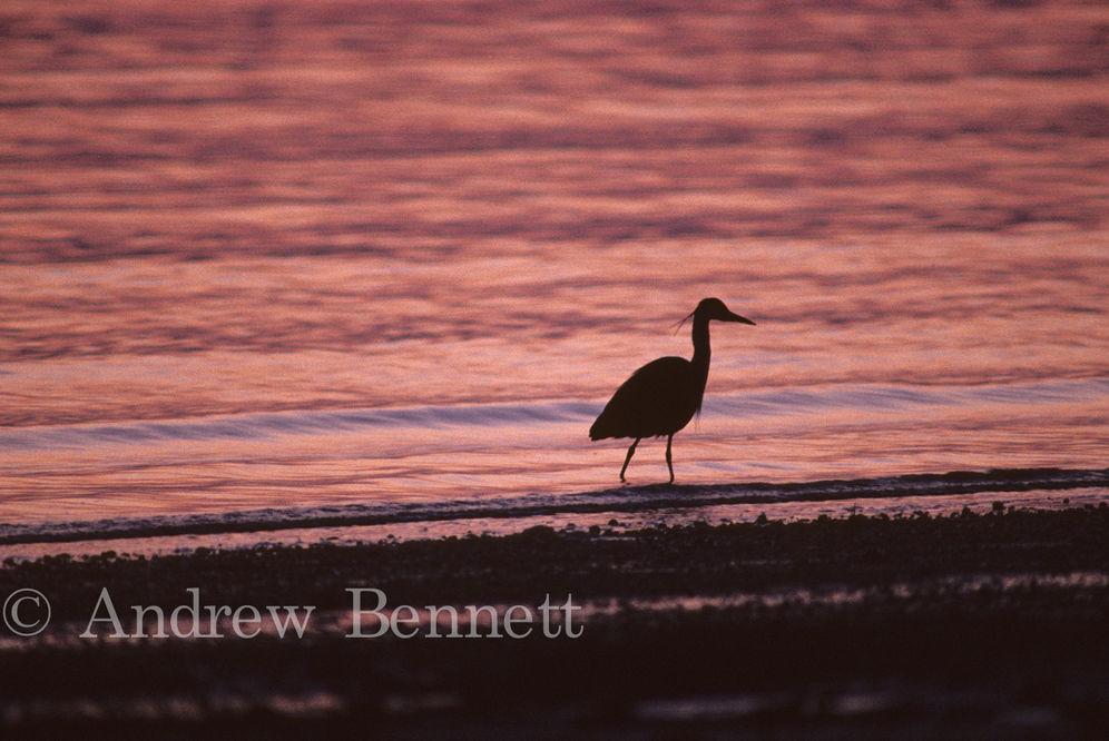 heron at sunset-2