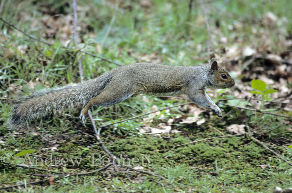 jumping squirrel-2