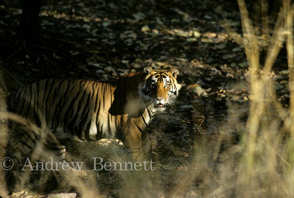 male tiger1