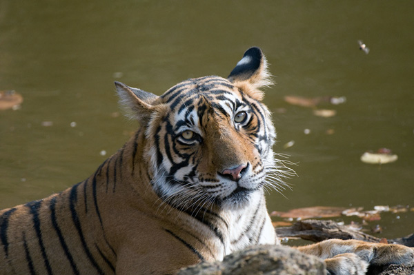 Adult tigress cooling off in pool