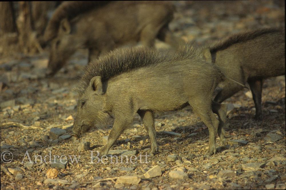 wild boar1