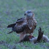 Red Kite with hen pheasant