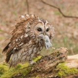Tawny Owl with lunch