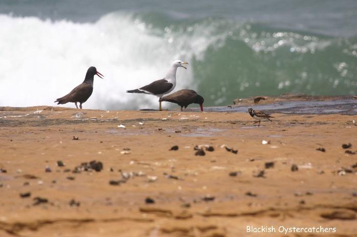 Blackish Oystercatcher (+Kelp Gull and Turnstone)