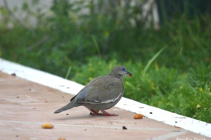 West Peruvian Dove