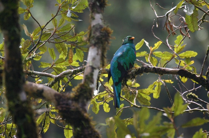 Golden-headed Quetzal