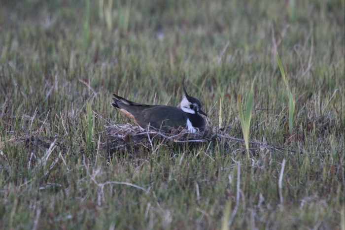 Lapwing on nest