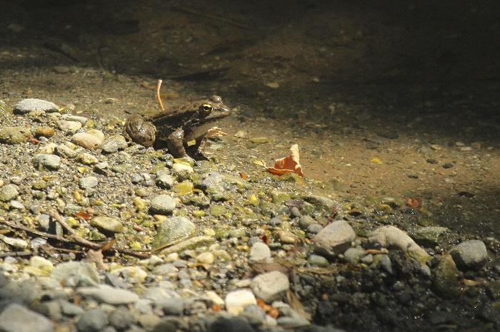 Cretan Marsh Frog