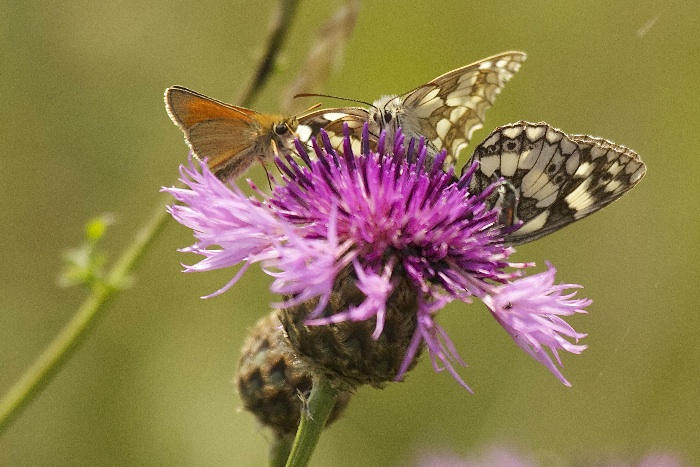 and Marbled Whites