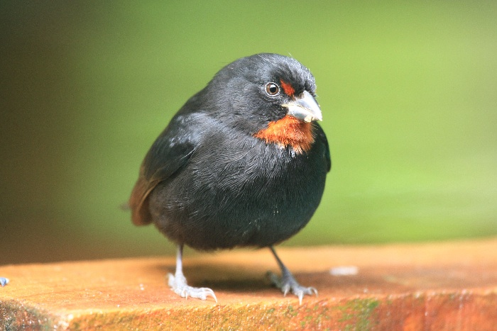 Lesser Antillean Bullfinch (male)