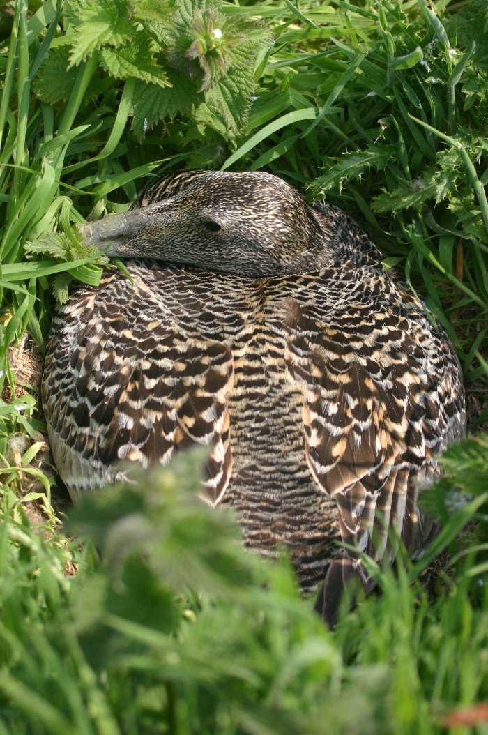 Eider Duck on nest